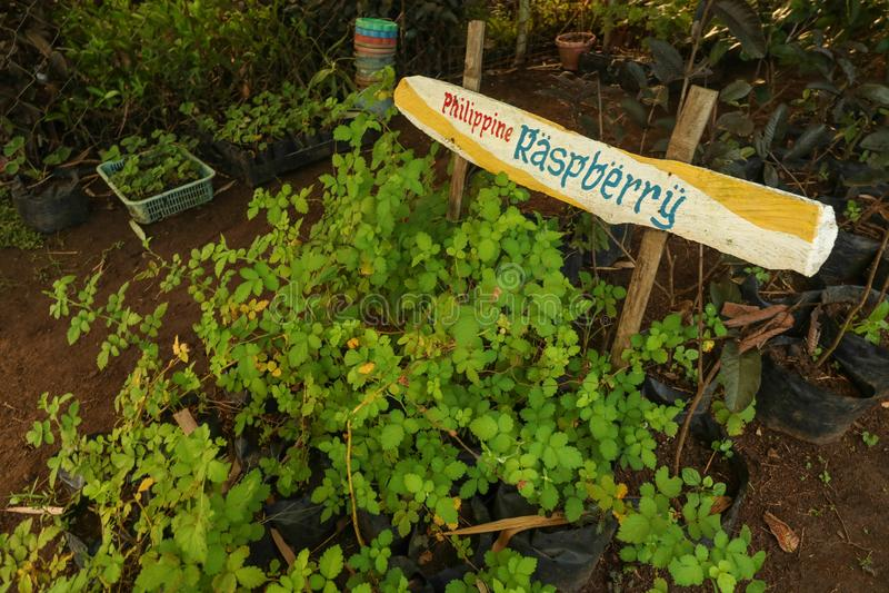 Philippine Raspberry. Plants in Ocampo, Camarines Sur, Bicol region Philipppines stock photos