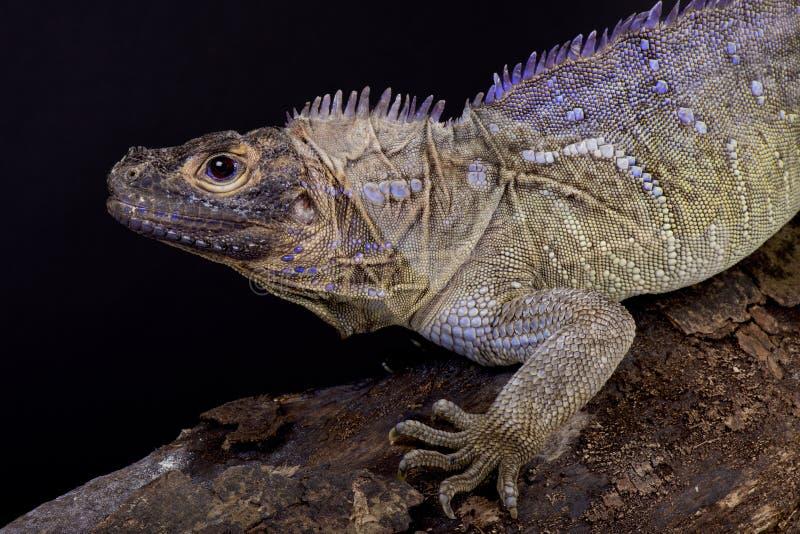 Philippine sailfin lizard, Hydrosaurus pustulatus stock image