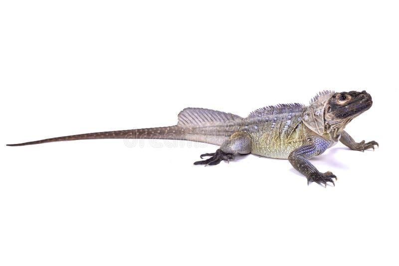 Philippine sailfin lizard, Hydrosaurus pustulatus royalty free stock photo