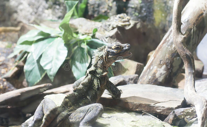 Philippine Sailfin Lizard on a Rock royalty free stock images