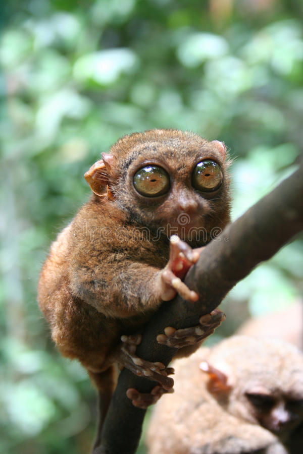 Philippine Tarsier. With big green eyes in a troplical forest royalty free stock photos
