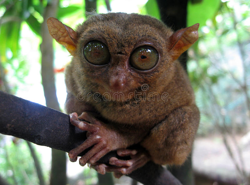 Philippine Tarsier. In Canapnapan, Bohol, Philippines royalty free stock image