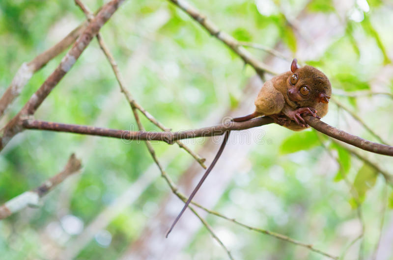 Philippine tarsier. (Tarsius syrichta), the smallest primate in natural environment royalty free stock images
