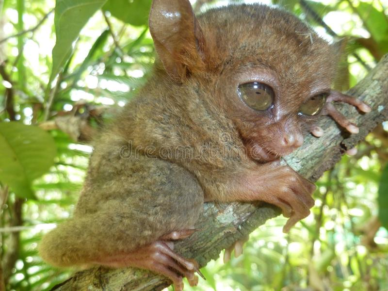 Philippine tarsier stock photography