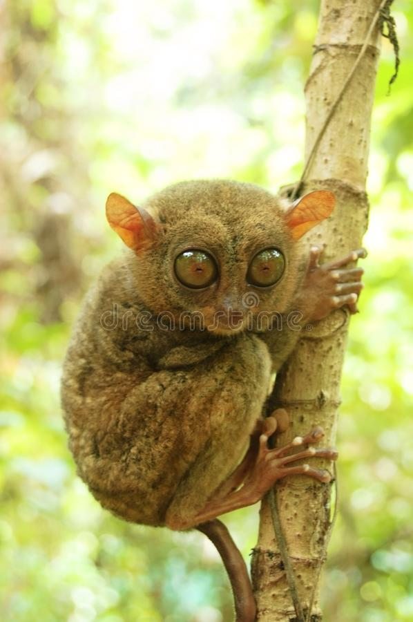 Philippine tarsier. On the tree royalty free stock photo