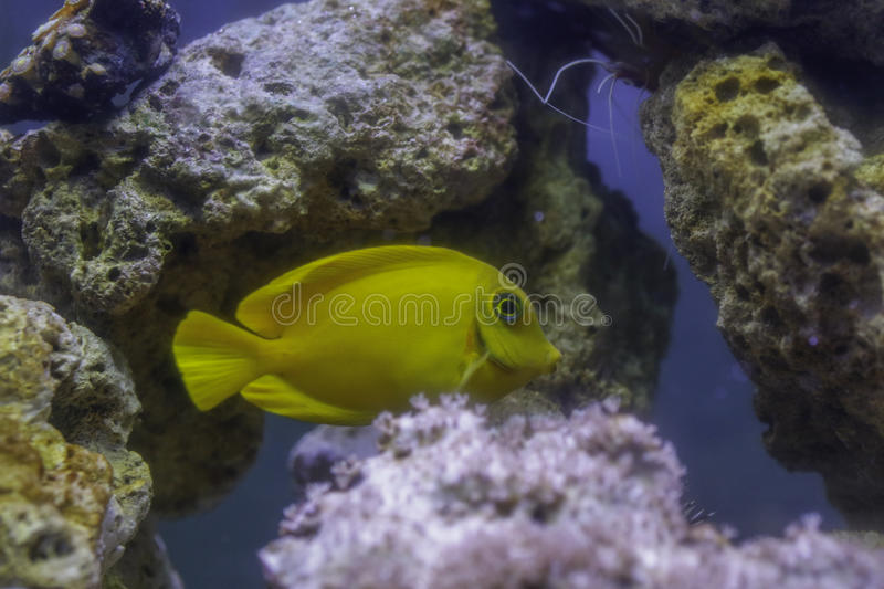 Philippine Yellow Tang royalty free stock photo