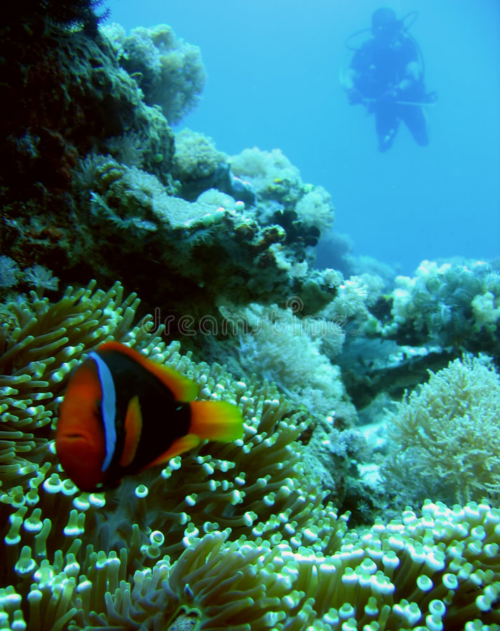 philippines för anemonclownfishdykare scuba arkivfoto