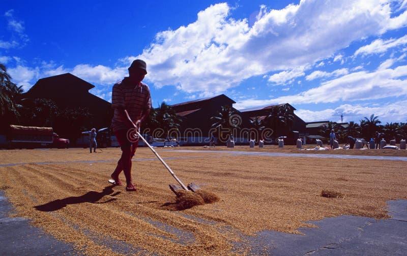 Philippines : Un agriculteur shuffeling le maïs autour pour sécher parfaitement photographie stock libre de droits