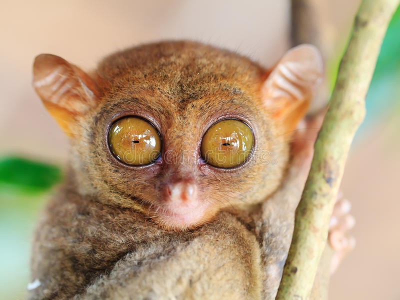 phillipine πιό tarsier στοκ εικόνες με δικαίωμα ελεύθερης χρήσης