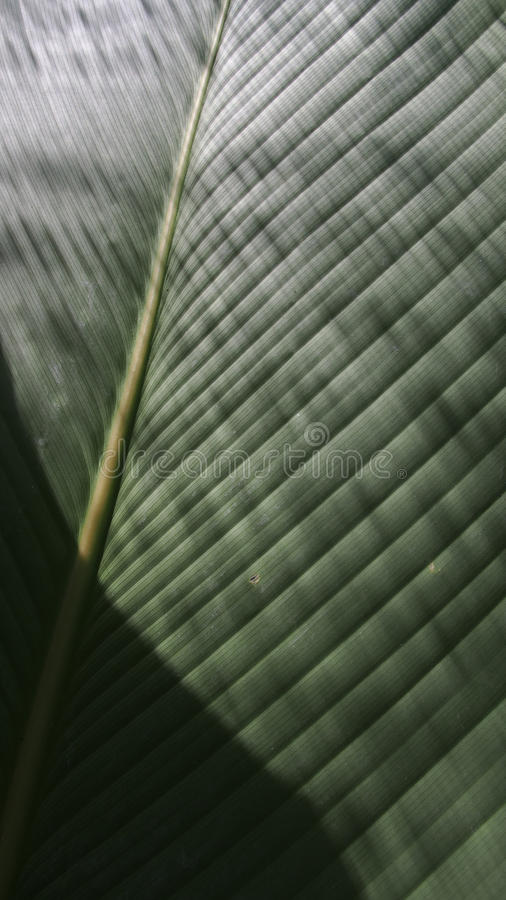 Philodendron-Blatt ist glänzender Streifen stockfotografie