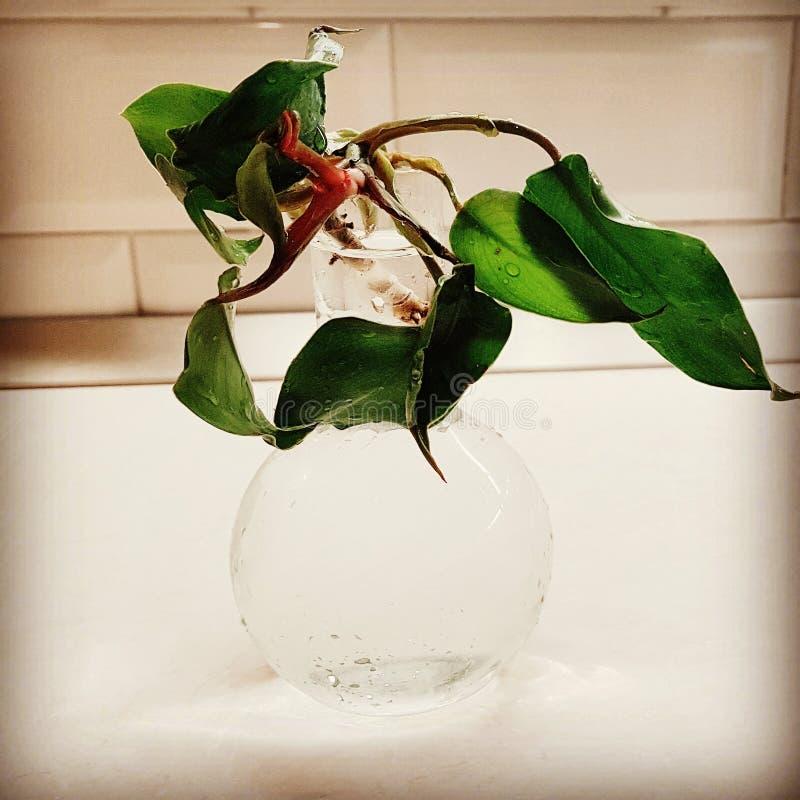 Philodendron en un bulbo de cristal imagenes de archivo