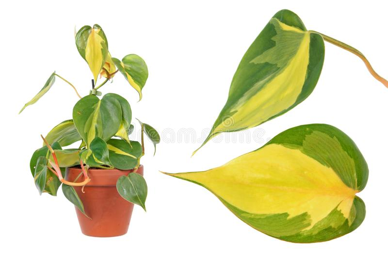 Philodendron hederaceum var. oxycardium syn. Philodendron scandens isolated on white background royalty free stock images