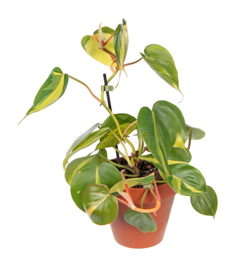 Philodendron hederaceum var. oxycardium syn. Philodendron scandens subsp. oxycardium with variegated green leaves in flowerpot royalty free stock photography