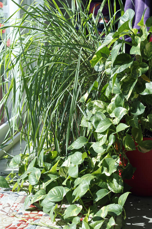 Download Philodendron And Lemongrass Plants In A Sunny Window Stock Image - Image of growing, bright: 90122367