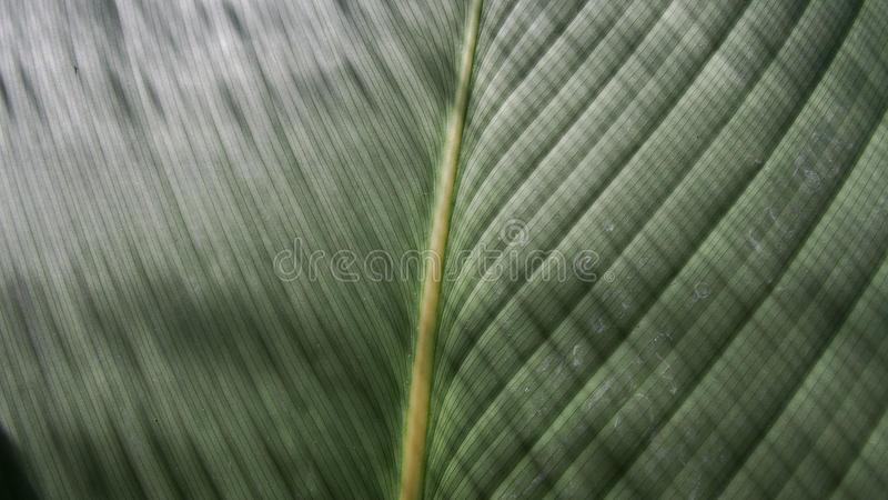 Philodendronbladet är det skinande bandet arkivfoton