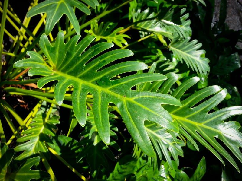 Philodendronxanadu arkivbild