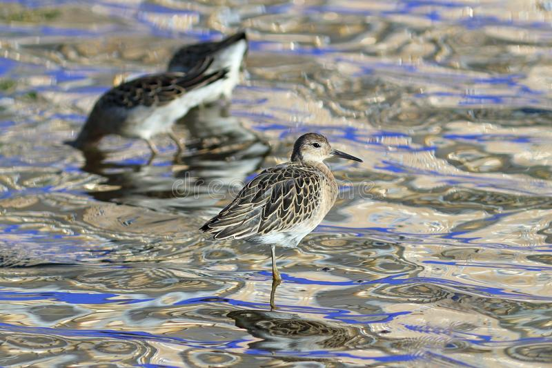 Philomachus pugnax. Ruffs in the evening on the shore of the lake on the Yamal Peninsula. Philomachus pugnax. Three ruffs in the evening on the lake stock photo