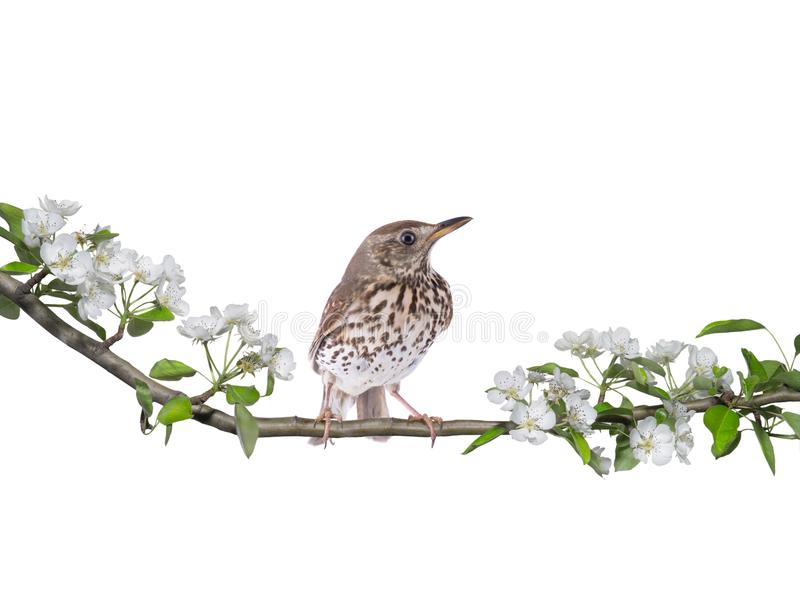 Philomelos för Turdus för sångtrast på ett päronträd i vår royaltyfria bilder