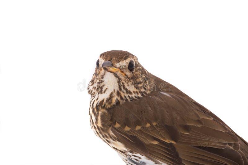 Philomelos Turdus τσιχλών στοκ εικόνα με δικαίωμα ελεύθερης χρήσης