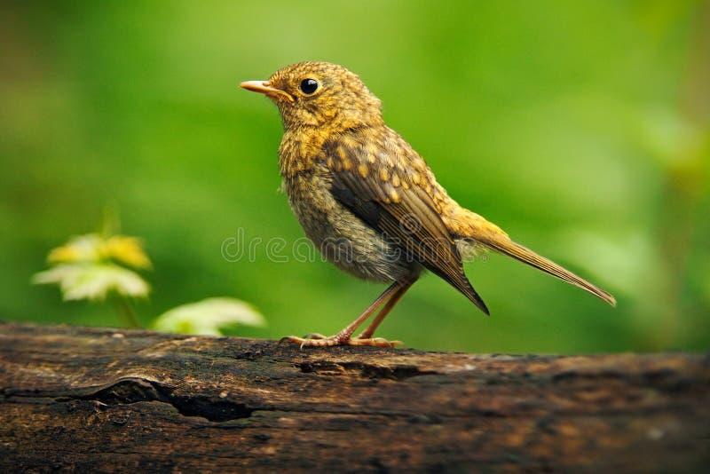 Philomelos van zanglijsterturdus in de aardhabitat jonge vogelzitting op de boomtak Vogel in de zomer Hongarije Vogel in Th stock foto's