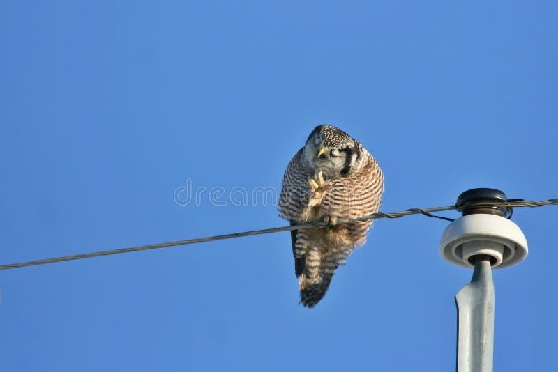 Philosopher Northern Hawk Owl royalty free stock photo