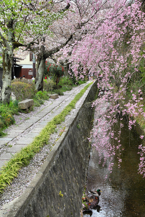Philosopher's Walk in Kyoto. Kyoto, Japan - Philosopher's Walk, a hiking path famous for its cherry blossom (sakura royalty free stock photo