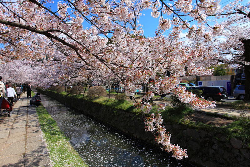 Philosopher's Walk,Kyoto. Spring cherry flowers in bloom,Philosopher's Walk in Kyoto, Japan royalty free stock photo