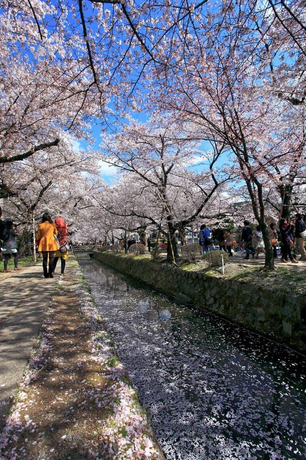 Philosopher's Walk,Kyoto. Spring cherry flowers in bloom,Philosopher's Walk in Kyoto, Japan stock photography