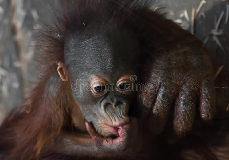 Phlegmatic little baby orangutan thoughtfully sucks a finger. On the caring hands of the monkey mother stock photography
