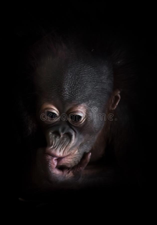 Phlegmatic little baby orangutan thoughtfully sucks a finger. Cub sucks a finger. Face close up on a black background royalty free stock photo