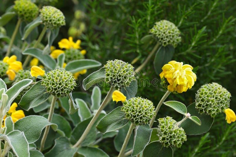Phlomis Edward Bowles Flower image stock