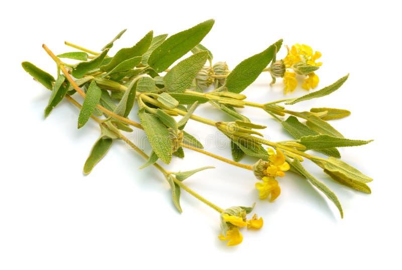 Phlomis Fruticosa Общие имена включают шалфей Иерусалима и завод lampwick r стоковые фото