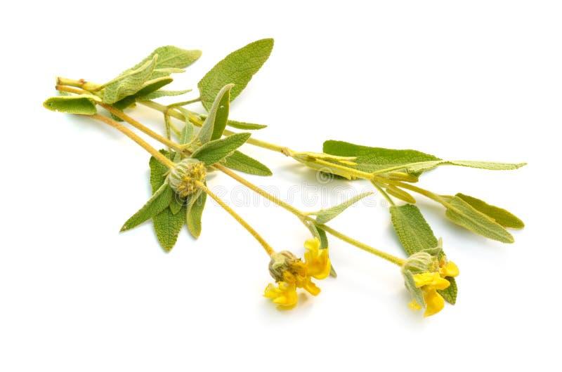 Phlomis Fruticosa. Common names include Jerusalem sage and lampwick plant. Isolated on white background.  stock image