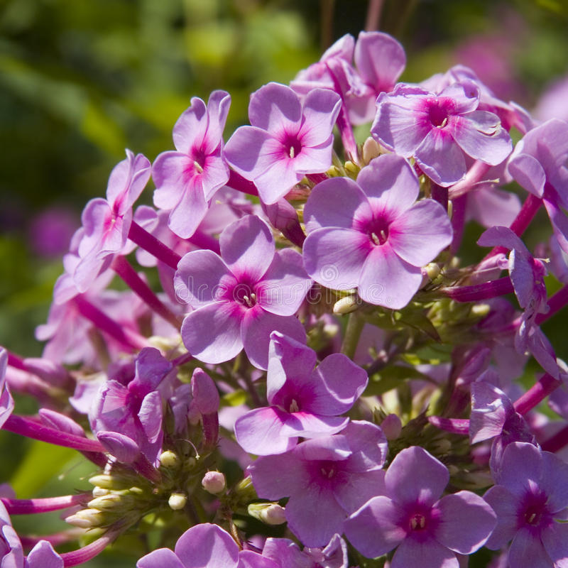 phlox цветка группы стоковые изображения