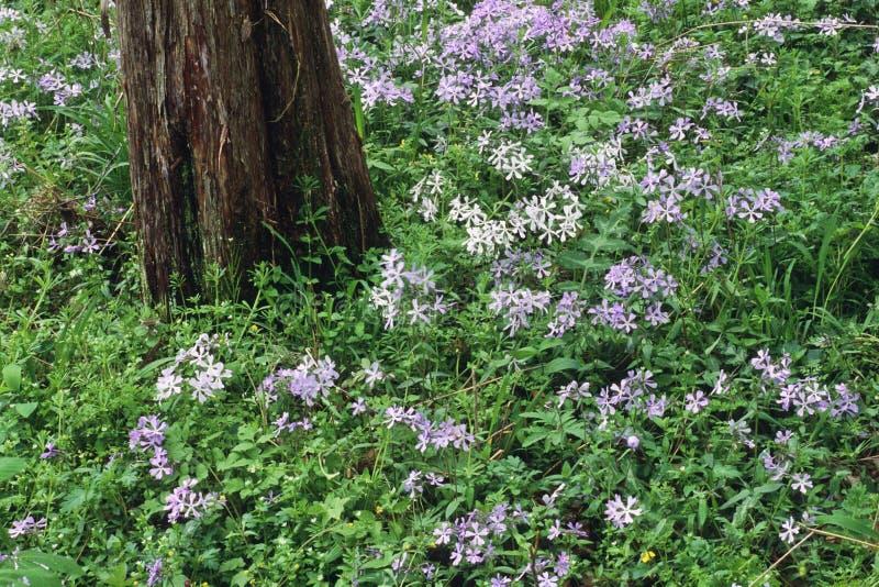 phlox stockfoto bild von parks tennessee wildflower. Black Bedroom Furniture Sets. Home Design Ideas
