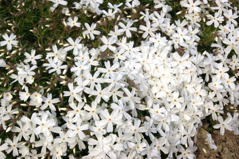 Phlox blanc images stock