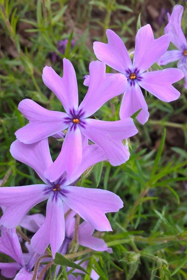 Phlox bleu sauvage photographie stock libre de droits