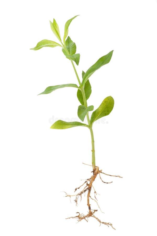 pousse plante luhutre qui pousse en terre plante cheick saidou min semer et planter du. Black Bedroom Furniture Sets. Home Design Ideas