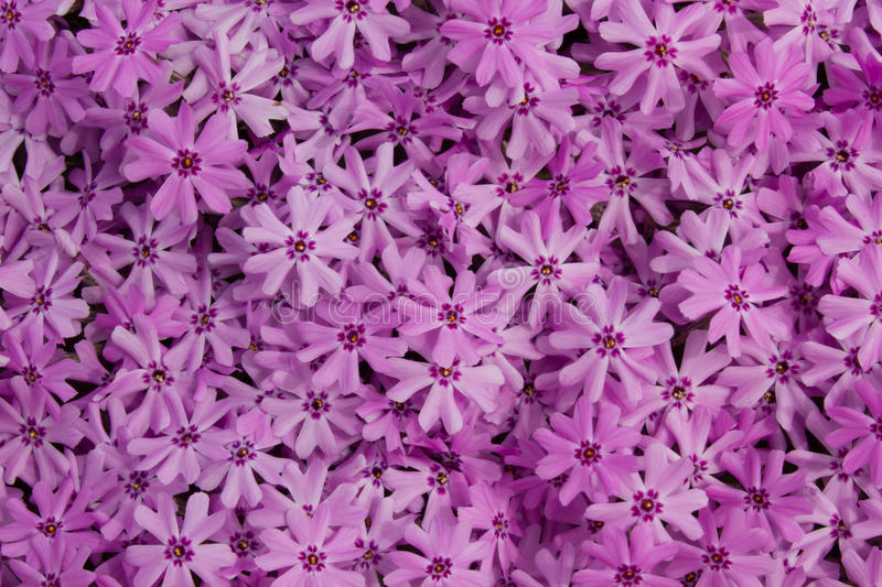 Phlox de rampement images stock