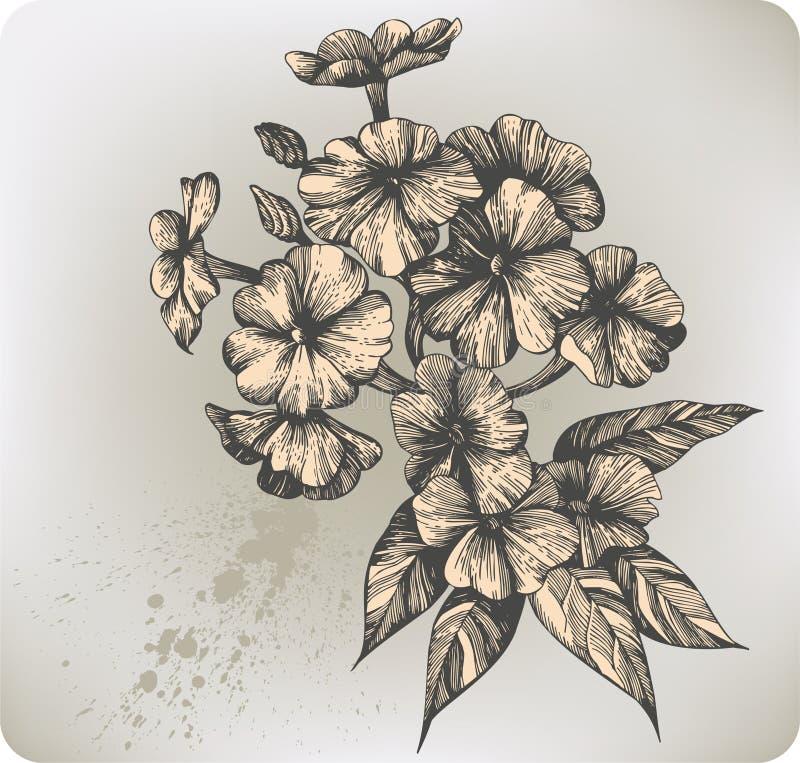 Phlox di fioritura del fiore, mano-illustrazione. Illust di vettore illustrazione di stock