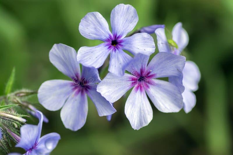 Phlox divaricata chattahoochee violet purple flowers, ornamental wild plant in bloom stock photography
