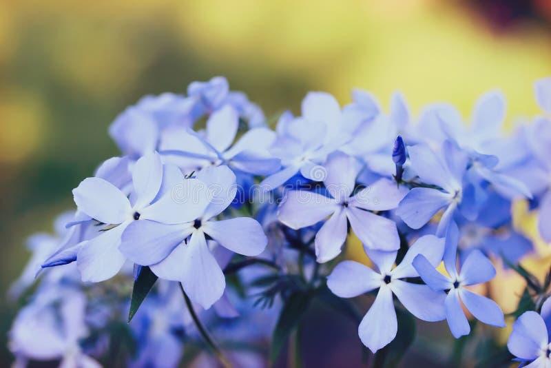 Phlox divaricata flowers royalty free stock photo