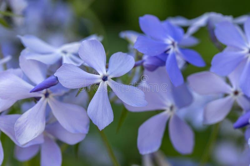 Phlox divaricata - wild sweet william - woodland phlox - wild blue phlox stock photos