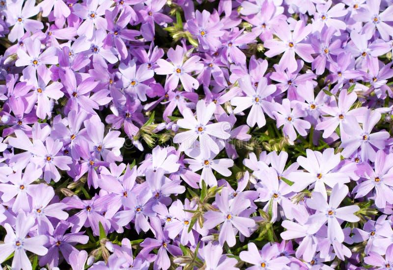Phlox do rastejamento, azul da esmeralda do subulata do Phlox imagem de stock