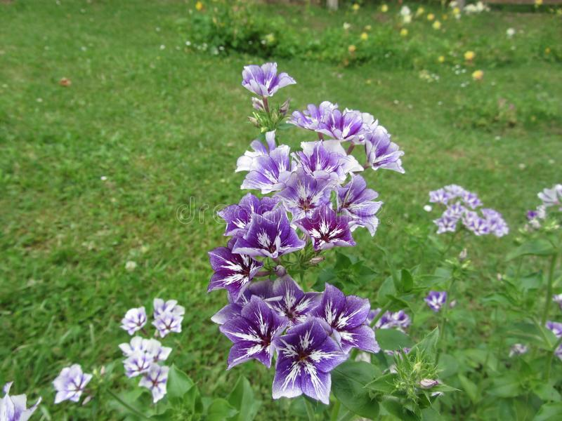 Phlox drummondii Sugar Stars . Types of flowers that bloom with a confection of purple-blue and white clustered blooms. Each with star-shaped white central stock images