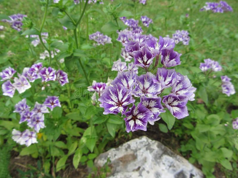 Phlox drummondii Sugar Stars . Types of flowers that bloom with a confection of purple-blue and white clustered blooms. Each with star-shaped white central stock photography