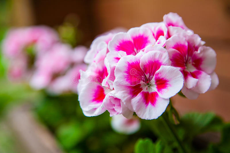 Phlox flowers in a pot. Pink and white color, close-up some flowers in the beam royalty free stock image