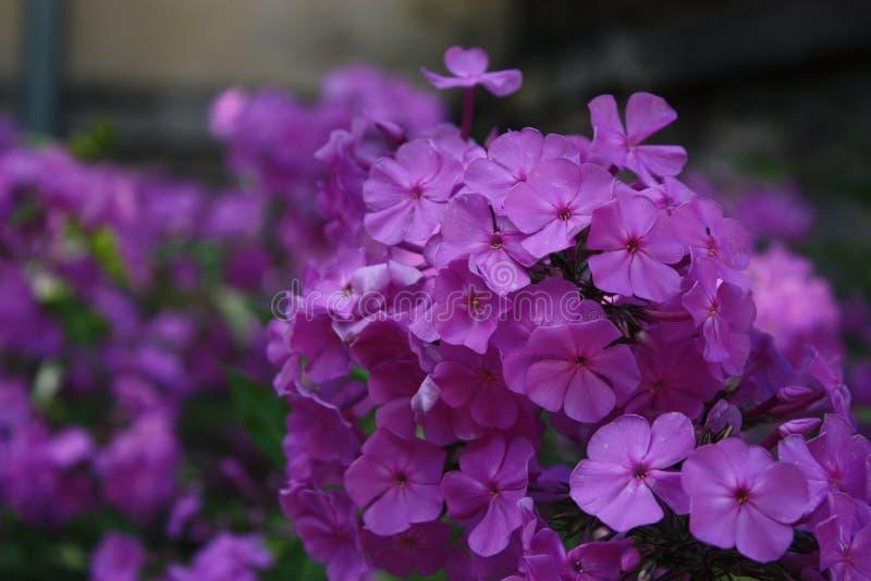 Phlox lilla immagini stock libere da diritti