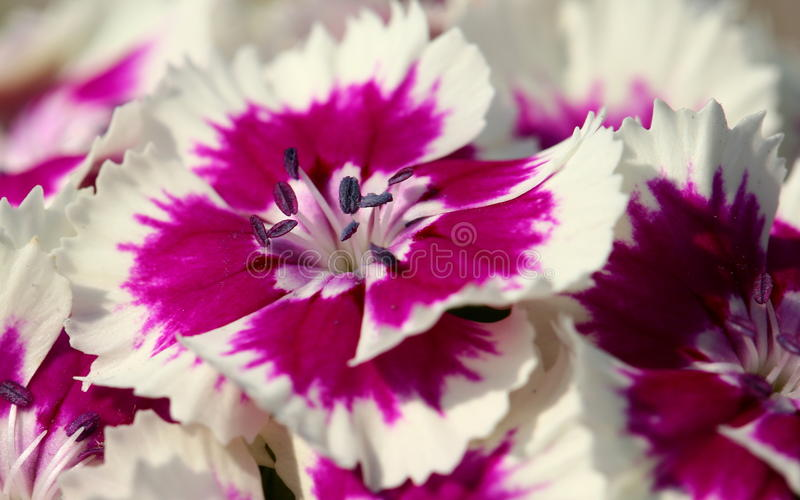 Carnation. Pink flowers close up royalty free stock photo