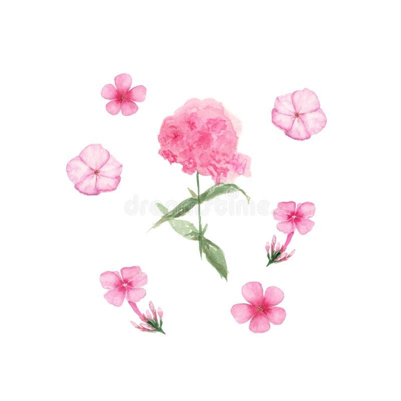 Phlox rosado Ejemplo pintado a mano de la acuarela aislado en el fondo blanco libre illustration